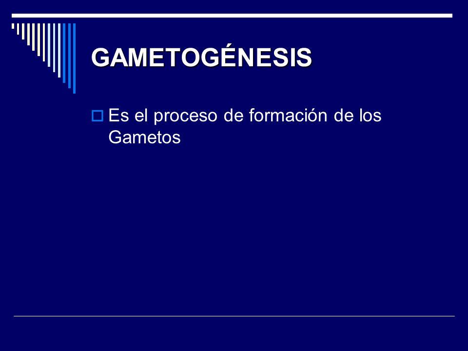 GAMETOGÉNESIS Es el proceso de formación de los Gametos