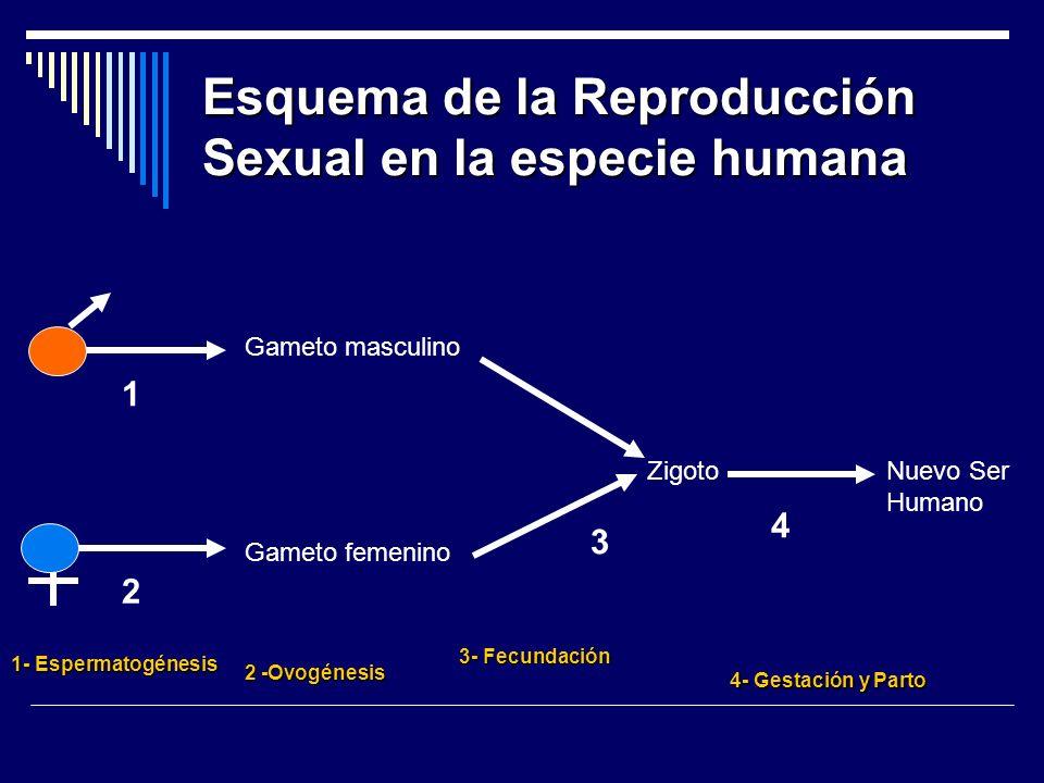 Esquema de la Reproducción Sexual en la especie humana Gameto masculino Gameto femenino ZigotoNuevo Ser Humano 1 2 3 4 1- Espermatogénesis 2 -Ovogénes