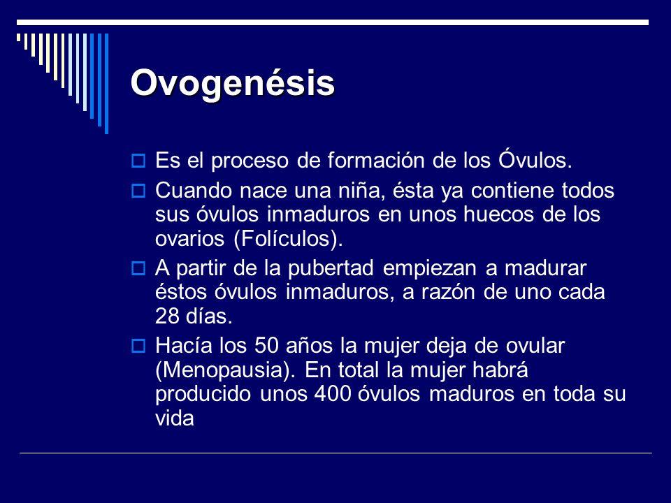 Ovogenésis Es el proceso de formación de los Óvulos. Cuando nace una niña, ésta ya contiene todos sus óvulos inmaduros en unos huecos de los ovarios (