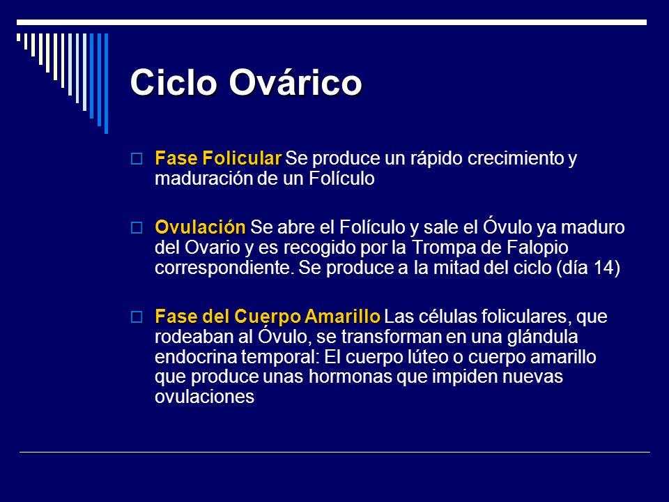 Ciclo Ovárico Fase Folicular Fase Folicular Se produce un rápido crecimiento y maduración de un Folículo Ovulación Ovulación Se abre el Folículo y sal