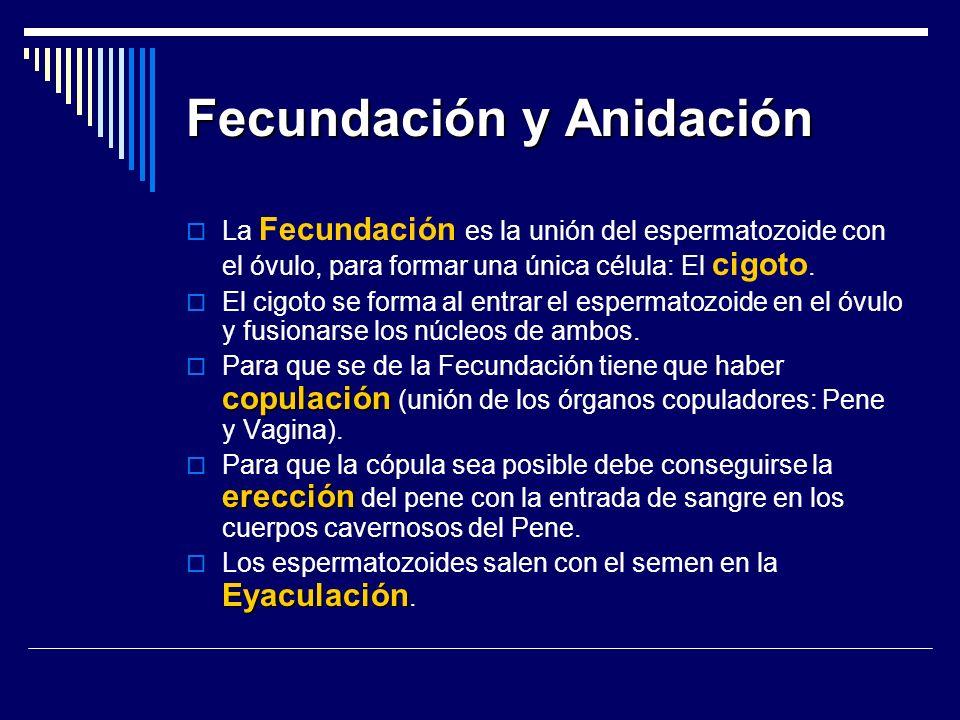 Fecundación y Anidación La Fecundación es la unión del espermatozoide con el óvulo, para formar una única célula: El cigoto. El cigoto se forma al ent
