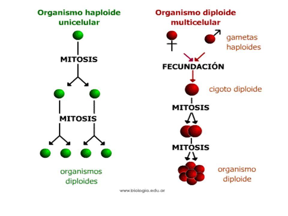 G1G1 G2G2 S Mitosis G0G0 INTERFASE: G 1 S G 2 DIVISIÓN: Mitosis y citocinesis Interfase: gran actividad metabólica y aumento del tamaño celular.