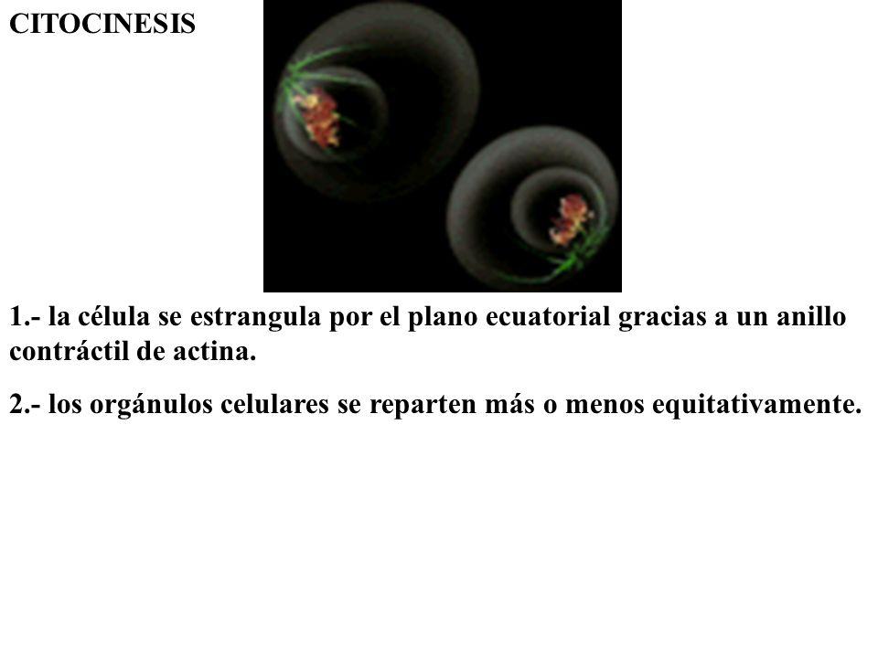 CITOCINESIS 1.- la célula se estrangula por el plano ecuatorial gracias a un anillo contráctil de actina. 2.- los orgánulos celulares se reparten más