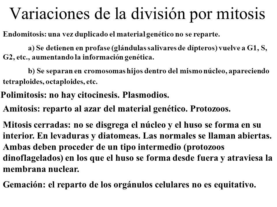 Variaciones de la división por mitosis Endomitosis: una vez duplicado el material genético no se reparte. a) Se detienen en profase (glándulas salivar
