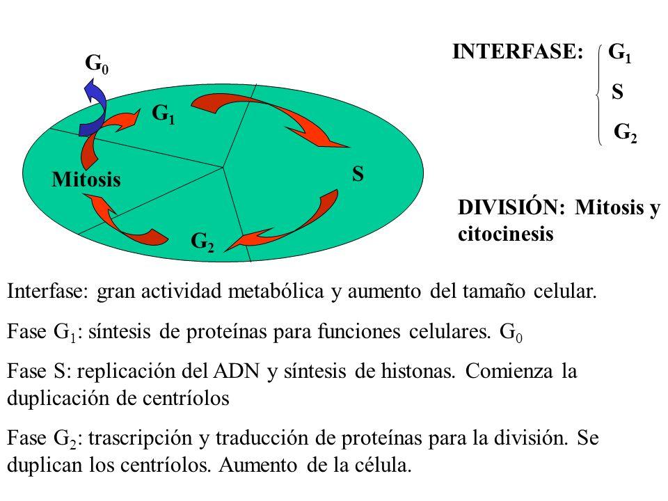 G1G1 G2G2 S Mitosis G0G0 INTERFASE: G 1 S G 2 DIVISIÓN: Mitosis y citocinesis Interfase: gran actividad metabólica y aumento del tamaño celular. Fase