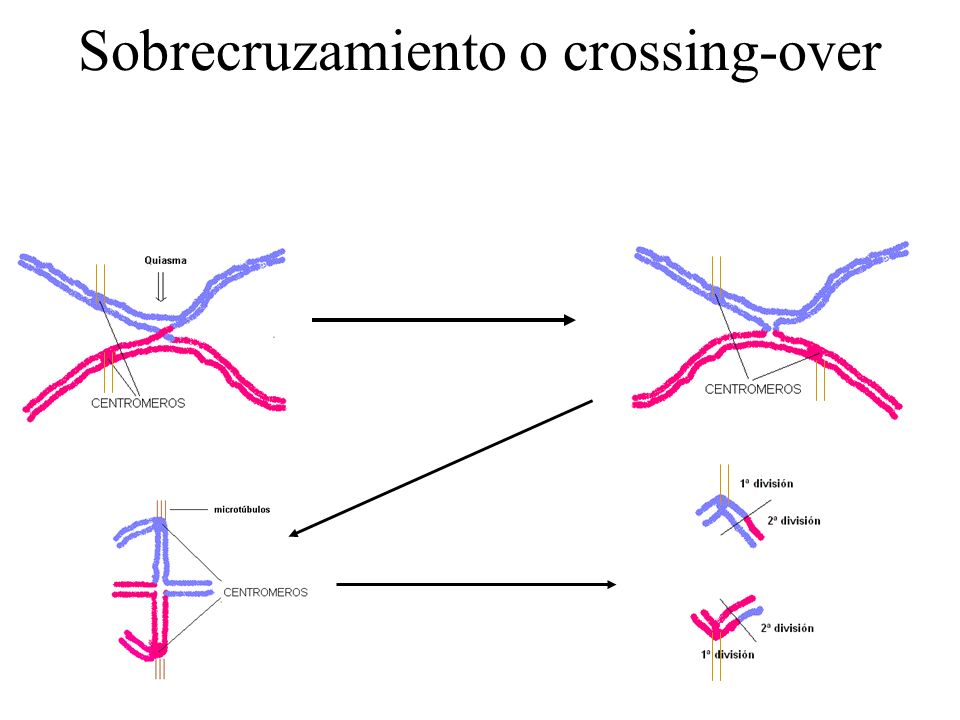 Sobrecruzamiento o crossing-over