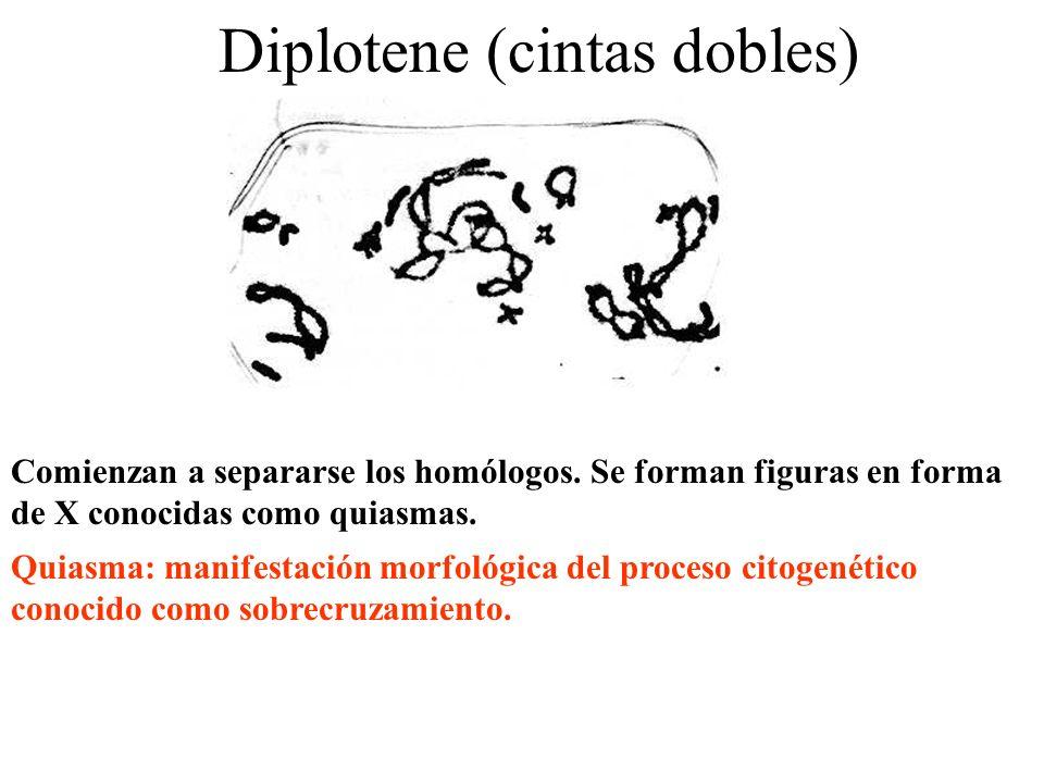 Diplotene (cintas dobles) Comienzan a separarse los homólogos. Se forman figuras en forma de X conocidas como quiasmas. Quiasma: manifestación morfoló
