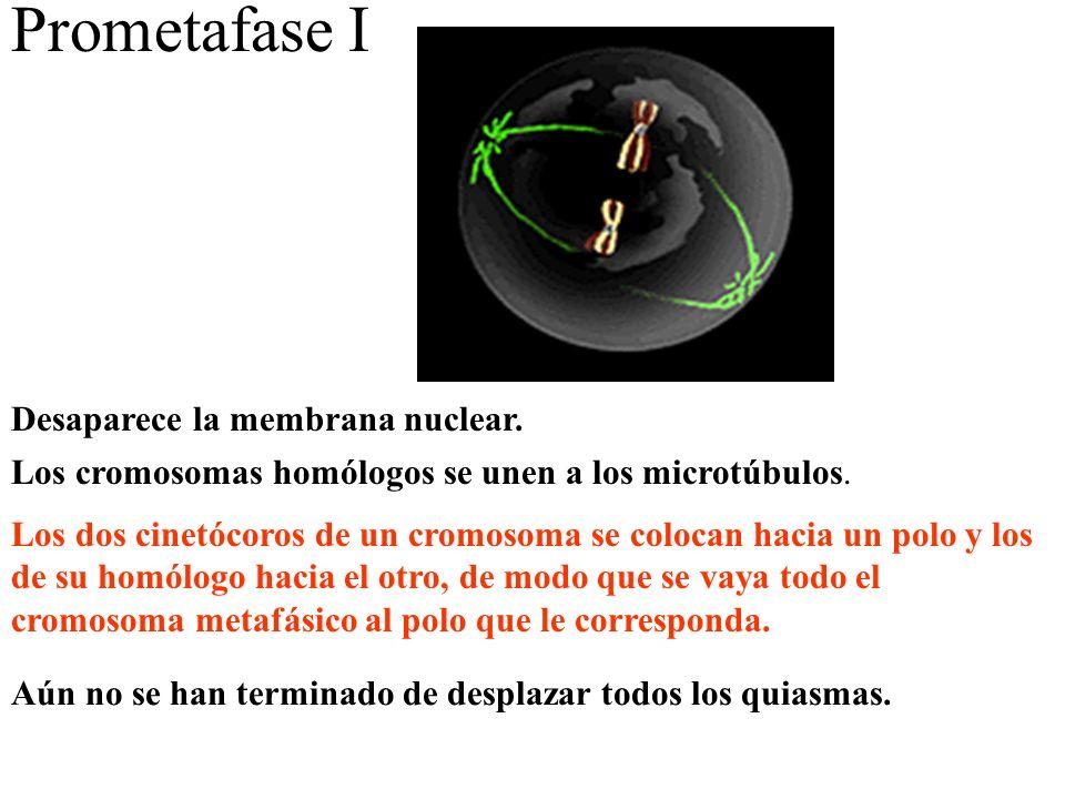 Prometafase I Desaparece la membrana nuclear. Los cromosomas homólogos se unen a los microtúbulos. Los dos cinetócoros de un cromosoma se colocan haci