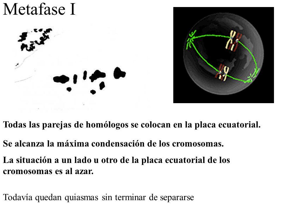 Metafase I Todas las parejas de homólogos se colocan en la placa ecuatorial. Se alcanza la máxima condensación de los cromosomas. La situación a un la