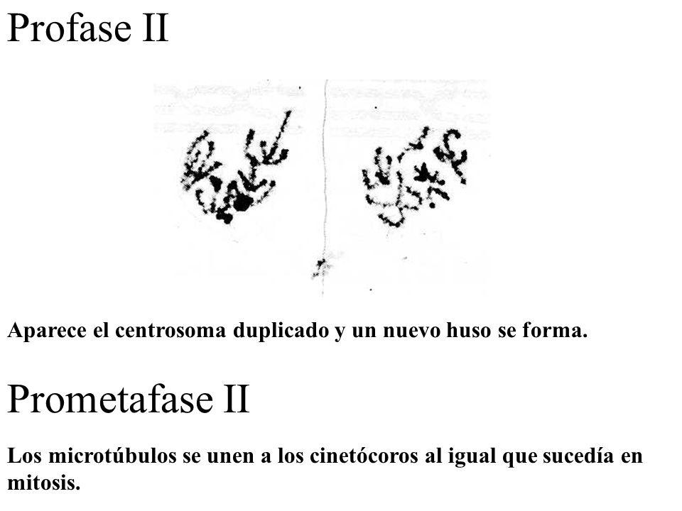 Profase II Aparece el centrosoma duplicado y un nuevo huso se forma. Prometafase II Los microtúbulos se unen a los cinetócoros al igual que sucedía en
