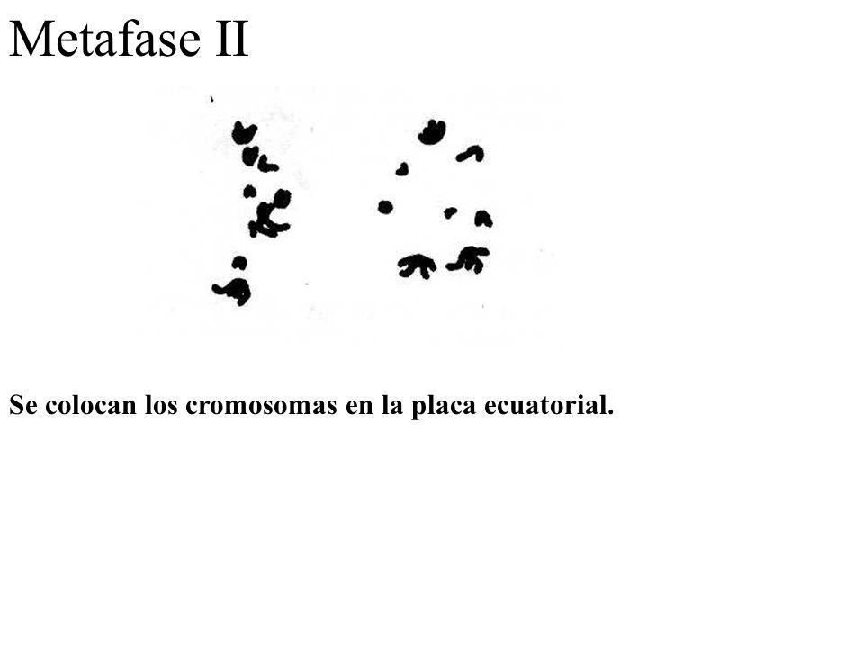 Metafase II Se colocan los cromosomas en la placa ecuatorial.