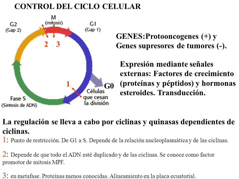 FUNCIÓN DE LAS PROTEÍNAS REGULADORAS 1.- G1 a S: ciclina G1 quinasa cdk2 + Factor Promotor de la replicación (FPR) 2.- G2 a M: ciclina mitótica quinasa cdc2 + Factor promotor de la mitosis (FPM) Se desactiva cuando se han unido todos los cinetócoros.
