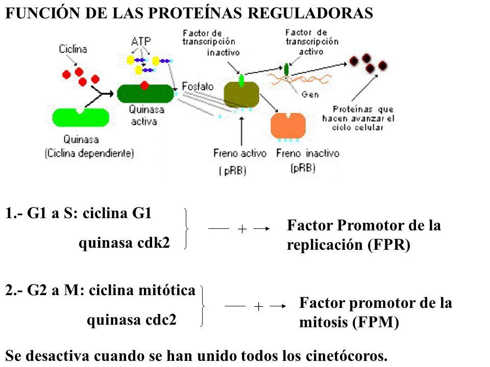 Envejecimiento y muerte celular Causas: genéticas, acumulación de radicales libres, etc., pero fundamentalmente porque el número de divisiones es limitado por el acortamiento de los telómeros.