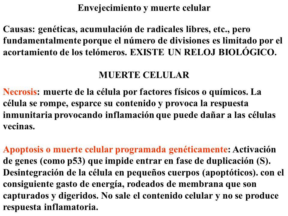 Meiosis Mecanismo fundamental del proceso conocido como reproducción sexual.