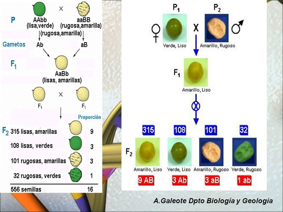 Mendel se fijó en distintos caracteres de la planta del guisante A.Galeote Dpto Biología y Geología