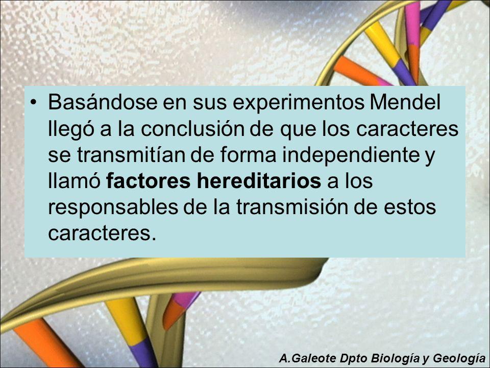 Basándose en sus experimentos Mendel llegó a la conclusión de que los caracteres se transmitían de forma independiente y llamó factores hereditarios a