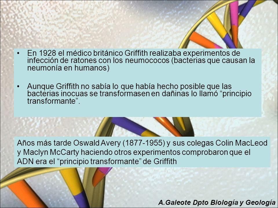 En 1928 el médico británico Griffith realizaba experimentos de infección de ratones con los neumococos (bacterias que causan la neumonía en humanos) A