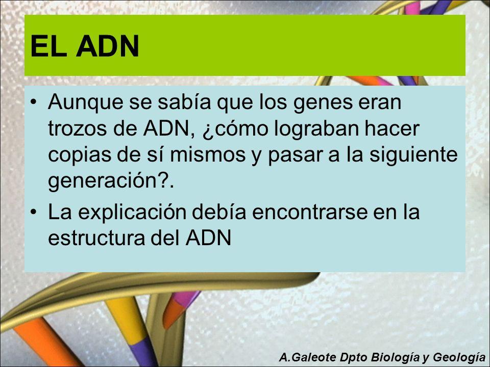 EL ADN Aunque se sabía que los genes eran trozos de ADN, ¿cómo lograban hacer copias de sí mismos y pasar a la siguiente generación?. La explicación d