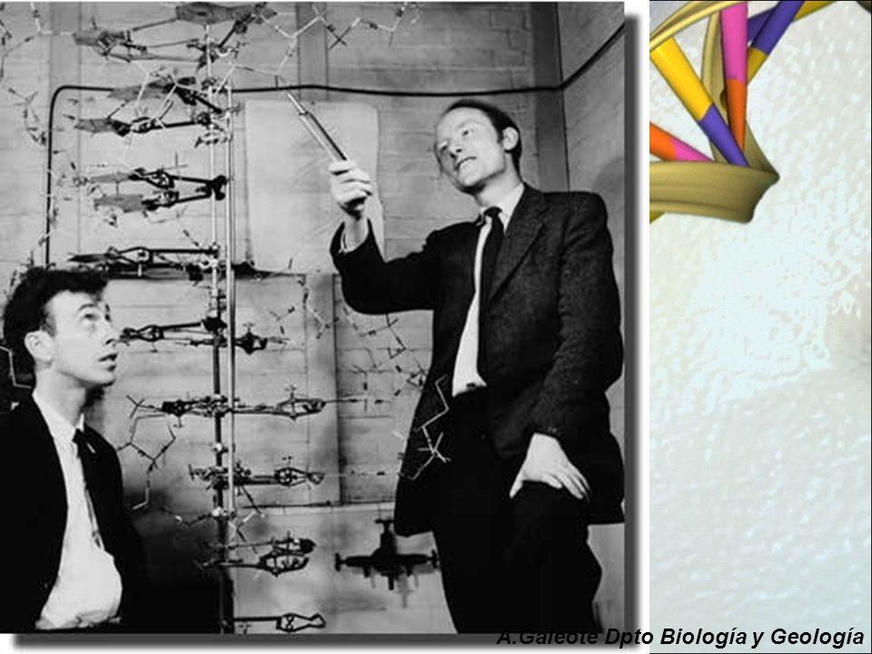 Watson y Crick llegaron a establecer la estructura del ADN en base a estudios anteriores: La difracción de rayos X de la molécula de ADN realizada por Rosalind Franklin (1920-1958) y Maurice Wilkins (1916- 2004) que sugerían que la molécula de ADN tenía la forma de una hélice y daban incluso algunas dimensiones de la misma.