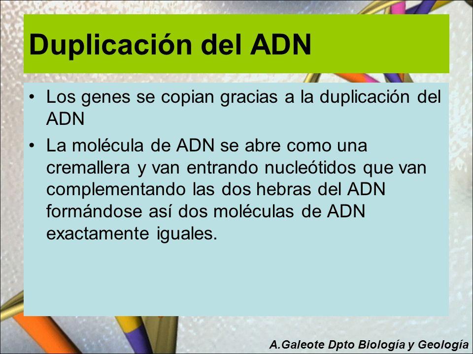 Duplicación del ADN Los genes se copian gracias a la duplicación del ADN La molécula de ADN se abre como una cremallera y van entrando nucleótidos que