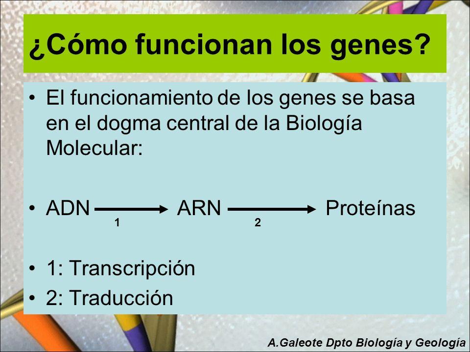 ¿Cómo funcionan los genes? El funcionamiento de los genes se basa en el dogma central de la Biología Molecular: ADN ARN Proteínas 1: Transcripción 2:
