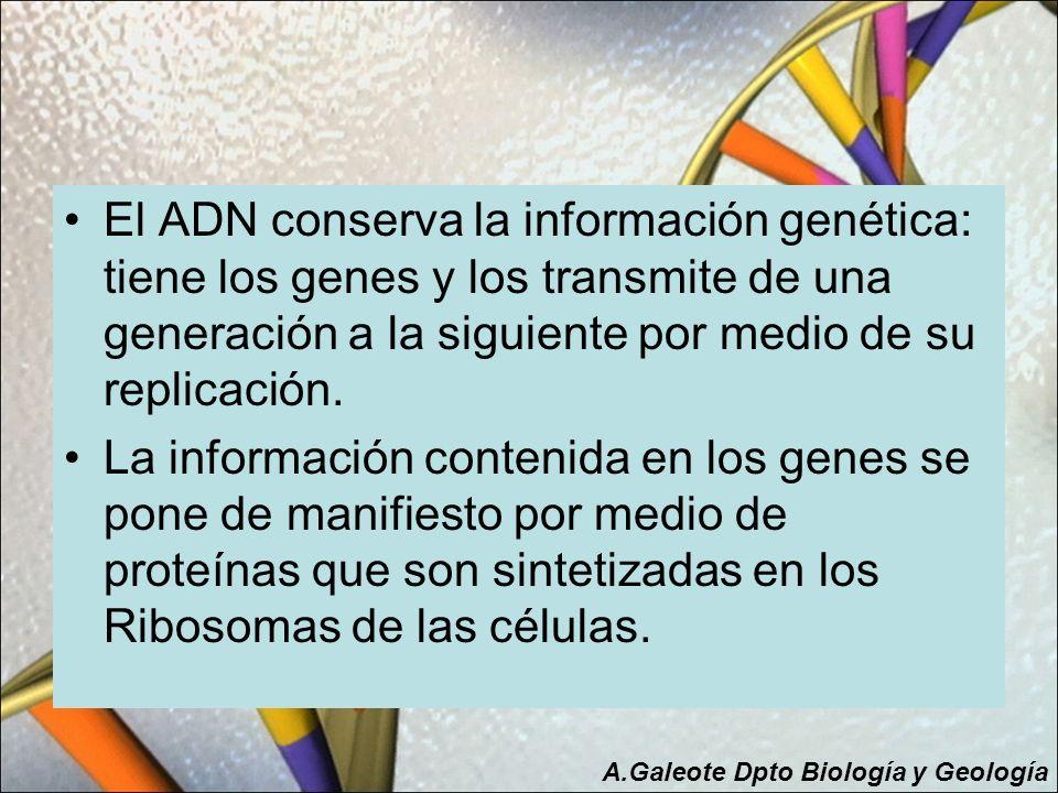 El ADN conserva la información genética: tiene los genes y los transmite de una generación a la siguiente por medio de su replicación. La información