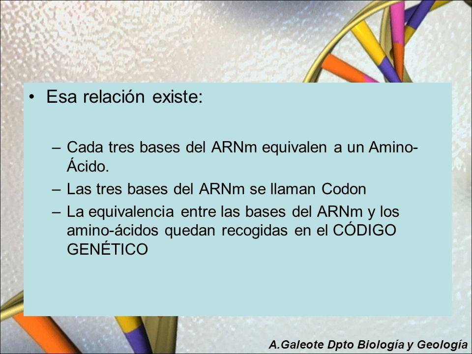 Esa relación existe: –Cada tres bases del ARNm equivalen a un Amino- Ácido. –Las tres bases del ARNm se llaman Codon –La equivalencia entre las bases