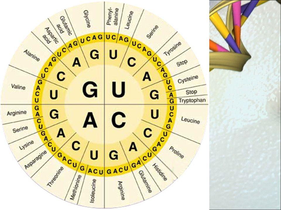 ¿Cómo se lleva a cabo la Traducción.El ARNm se une al Ribosoma.