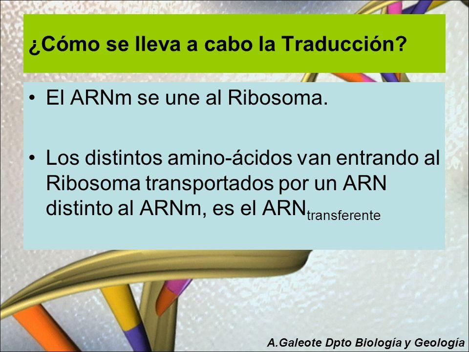 ¿Cómo se lleva a cabo la Traducción? El ARNm se une al Ribosoma. Los distintos amino-ácidos van entrando al Ribosoma transportados por un ARN distinto