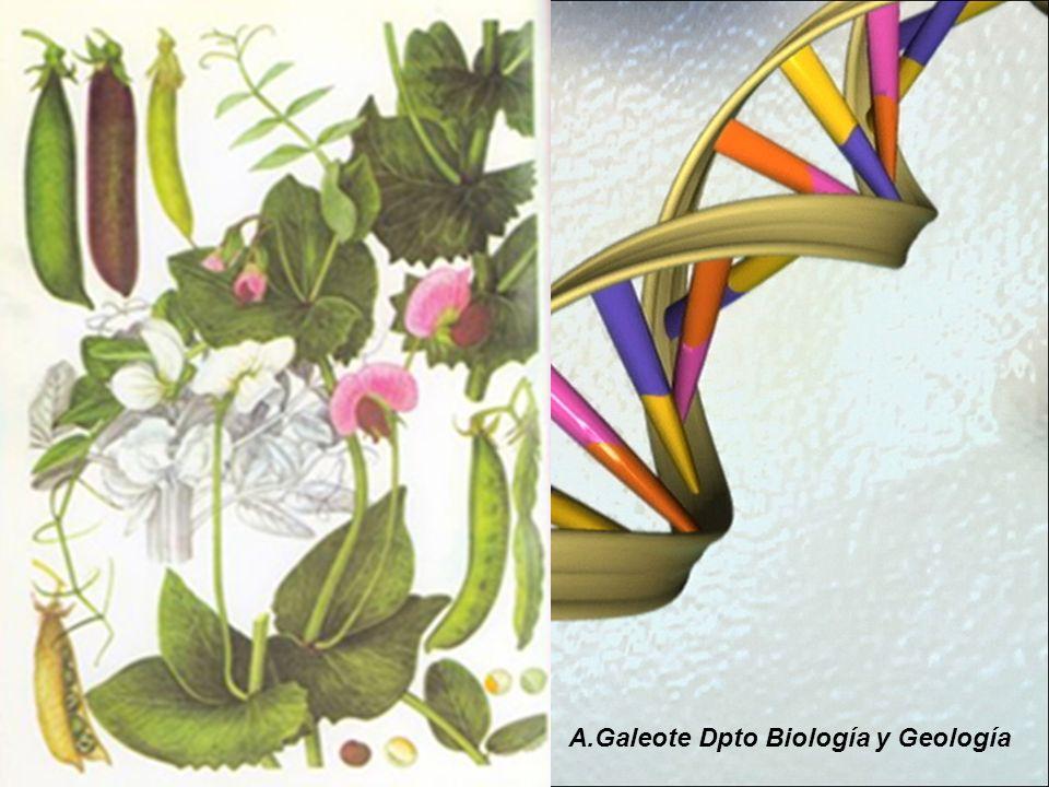 Mendel llegó a esta conclusión haciendo experimentos con plantas de guisante.