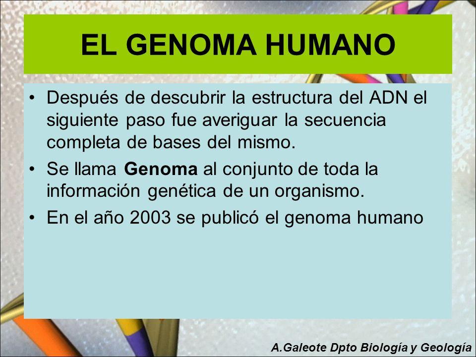 EL GENOMA HUMANO Después de descubrir la estructura del ADN el siguiente paso fue averiguar la secuencia completa de bases del mismo. Se llama Genoma