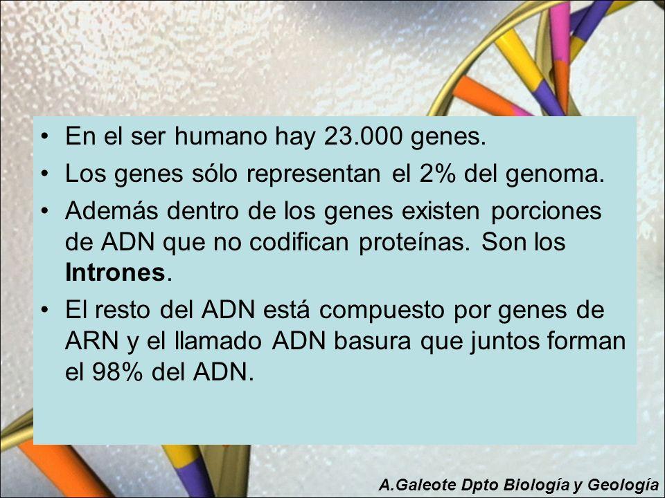 En el ser humano hay 23.000 genes. Los genes sólo representan el 2% del genoma. Además dentro de los genes existen porciones de ADN que no codifican p