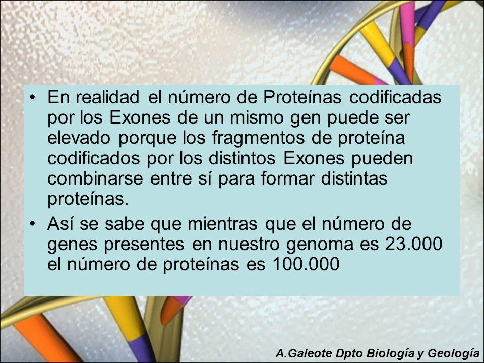 En realidad el número de Proteínas codificadas por los Exones de un mismo gen puede ser elevado porque los fragmentos de proteína codificados por los