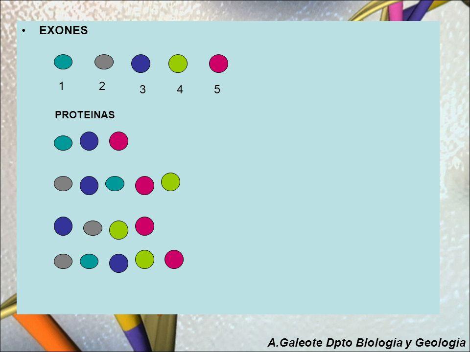 Resumiendo en el ADN podemos encontrar: Exones Son las porciones de ADN dentro del gen que codifican proteínas.