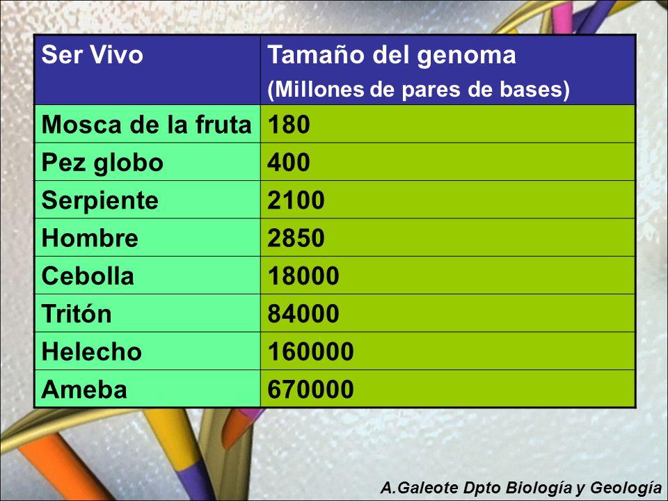 Ser VivoTamaño del genoma (Millones de pares de bases) Mosca de la fruta180 Pez globo400 Serpiente2100 Hombre2850 Cebolla18000 Tritón84000 Helecho1600