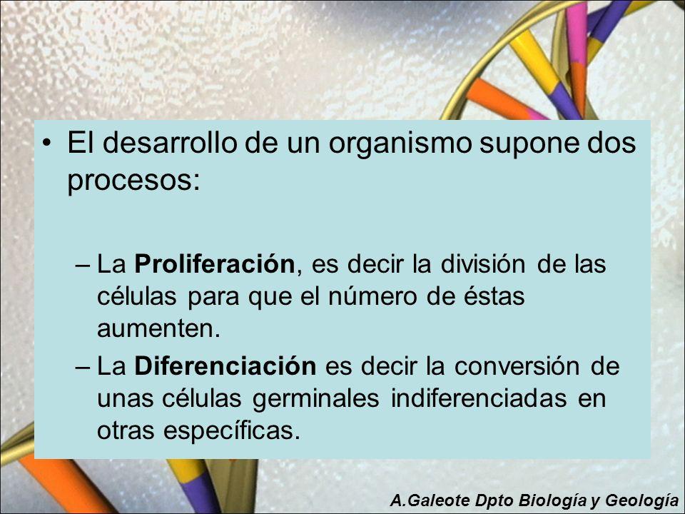 El desarrollo de un organismo supone dos procesos: –La Proliferación, es decir la división de las células para que el número de éstas aumenten. –La Di