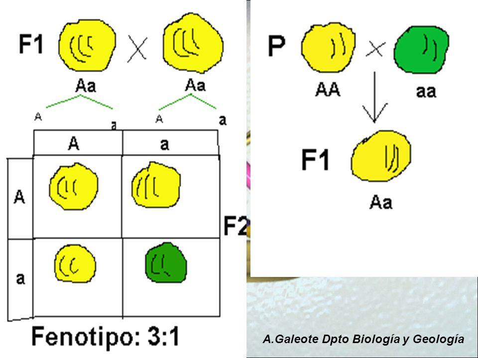 Mendel también se fijó que ocurría cuando en lugar de fijarse en un único carácter observaba como se transmitían dos a la vez A.Galeote Dpto Biología y Geología