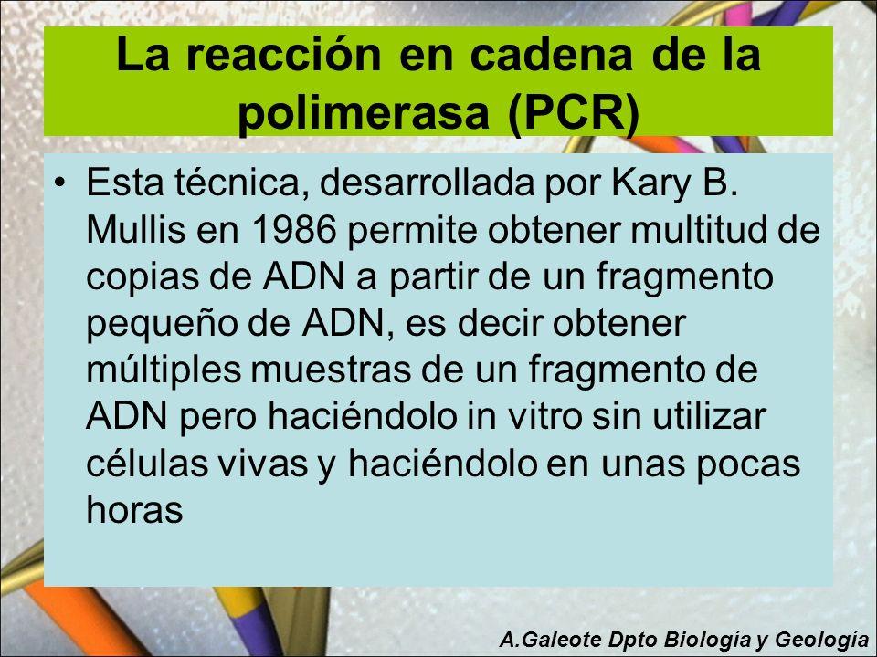 La reacción en cadena de la polimerasa (PCR) Esta técnica, desarrollada por Kary B. Mullis en 1986 permite obtener multitud de copias de ADN a partir