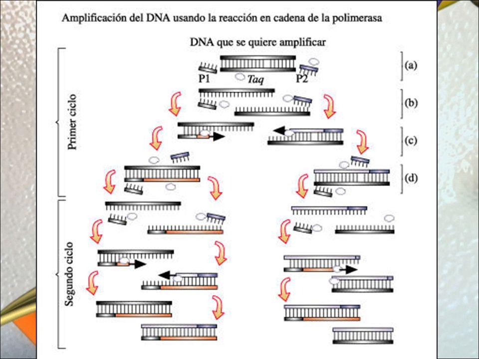 Los Transgénicos Con las técnicas de la biotecnología podemos manipular la información genética de un determinado organismo con el fin de añadirle características nuevas al introducirle un nuevo gen.