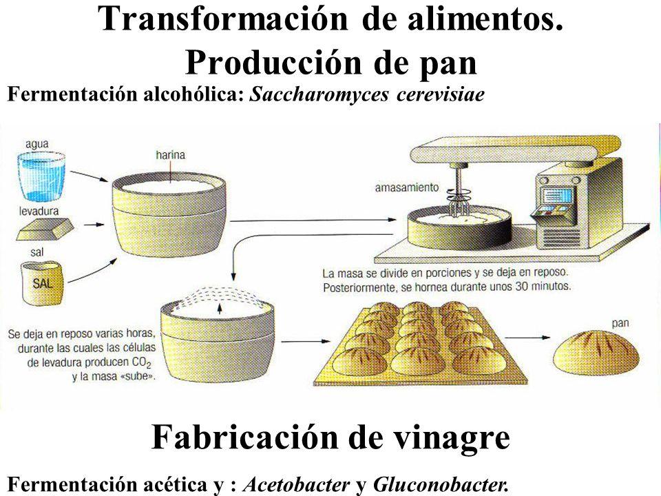 Transformación de alimentos. Producción de pan Fermentación alcohólica: Saccharomyces cerevisiae Fabricación de vinagre Fermentación acética y : Aceto