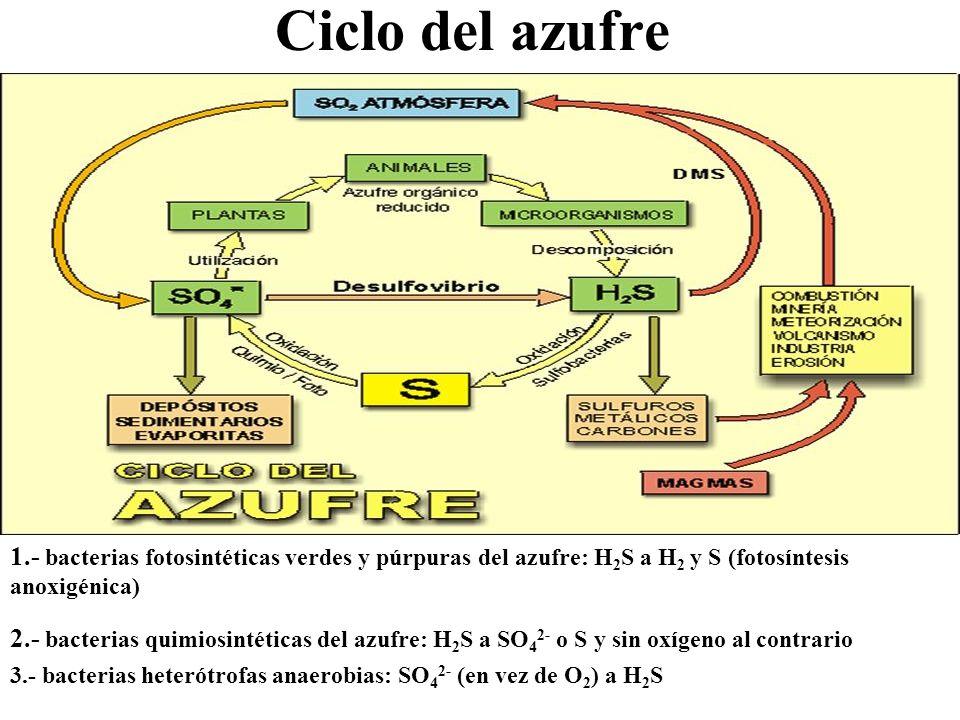 Ciclo del azufre 1.- bacterias fotosintéticas verdes y púrpuras del azufre: H 2 S a H 2 y S (fotosíntesis anoxigénica) 1 y 2 2 2.- bacterias quimiosin
