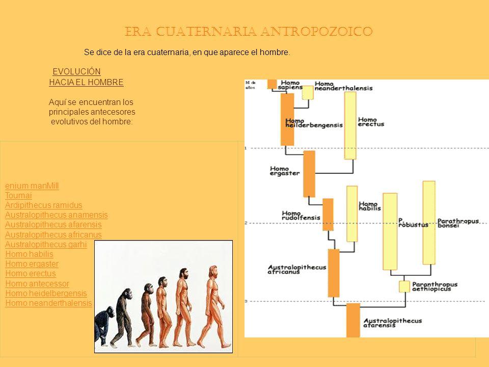 Era Cuaternaria antropozoico Se dice de la era cuaternaria, en que aparece el hombre. EVOLUCIÓN HACIA EL HOMBRE Aquí se encuentran los principales ant