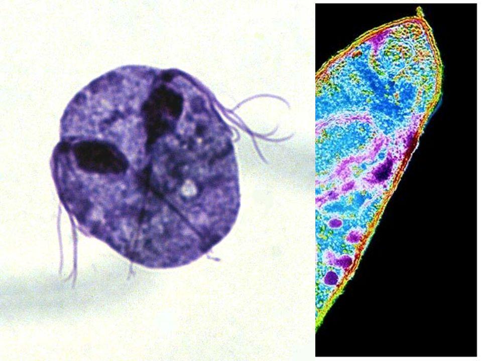 PROTOZOOS Los Protozoos son organismos eucarióticos unicelulares. Enfermedades causadas por Protozoos son: la malaria, la enfermedad de Chagas, la enf