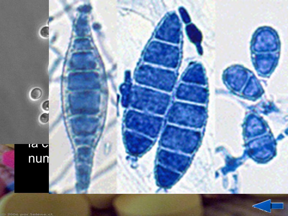 HONGOS Los hongos que producen enfermedades son microscópicos, normalmente unicelulares. Enfermedades producidas por hongos son la candidiasis, el pie