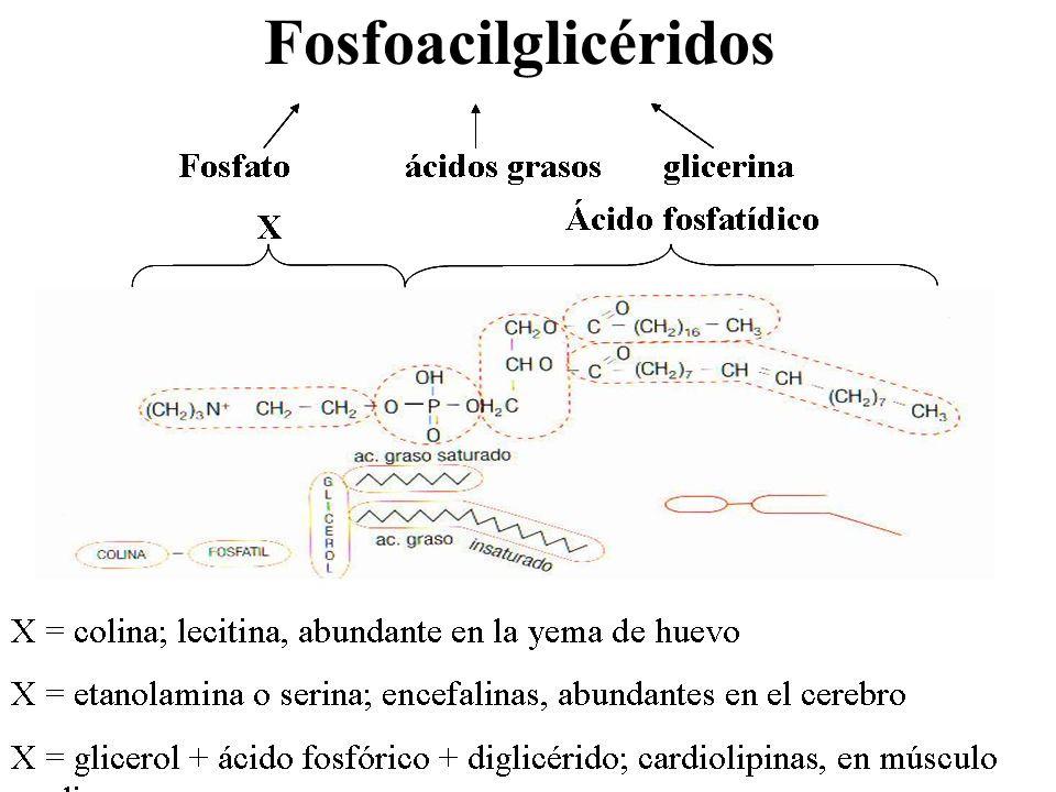 Fosfoacilglicéridos