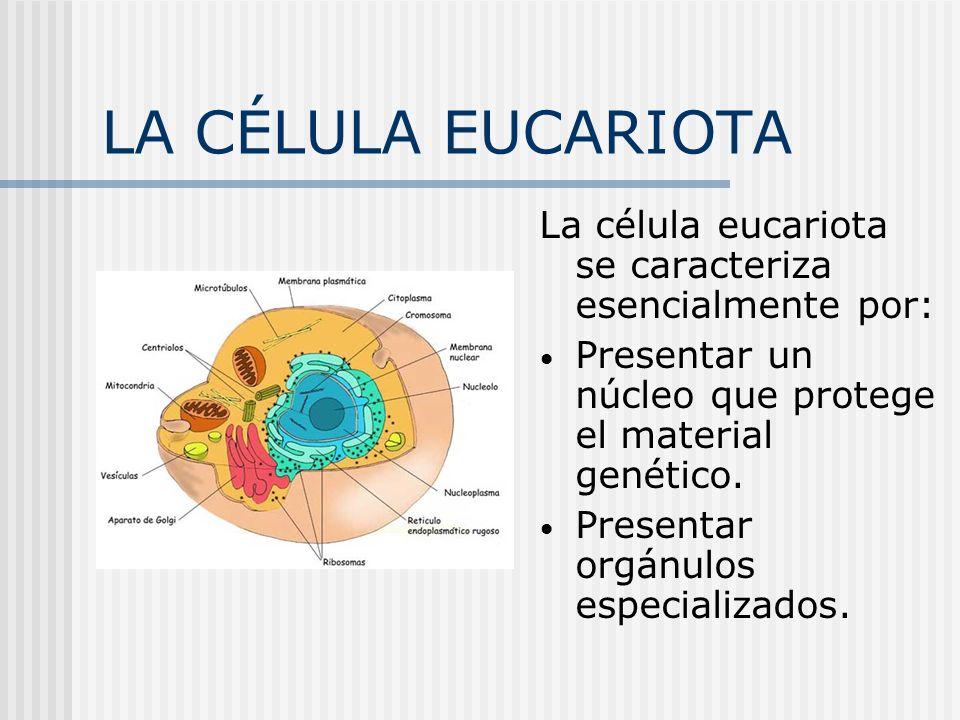 LA CÉLULA EUCARIOTA membrana celular Es una bicapa de lípidos que regula los intercambios de materia entre el exterior y el interior celular.Otras funciones son: Identifica la célula, mediante antígenos de superficie.