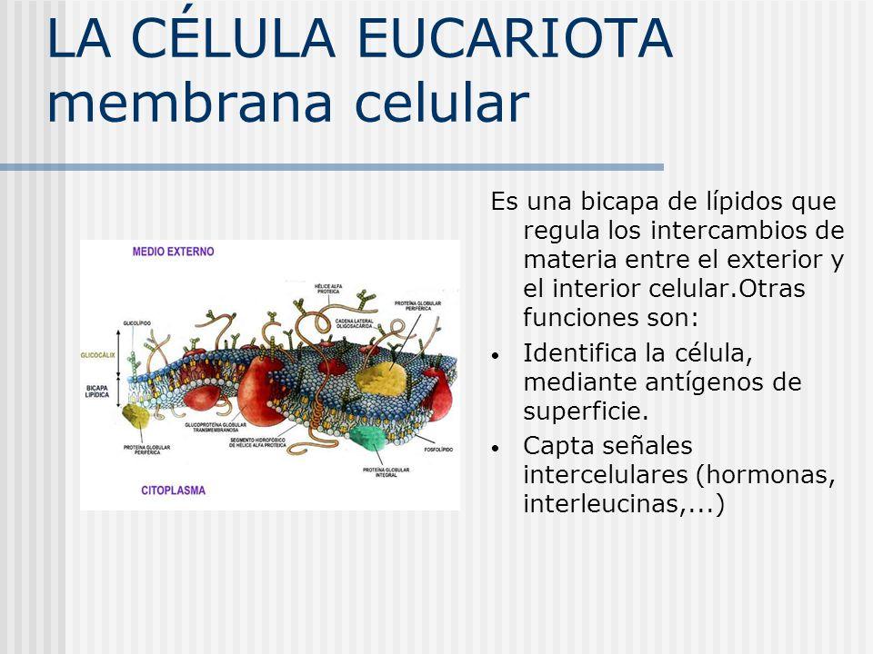 LA CÉLULA EUCARIOTA citoesqueleto Son un entramado de microtúbulos y filamentos proteicos.Entre sus funciones: Mantiene la forma de la célula y fija los orgánulos.