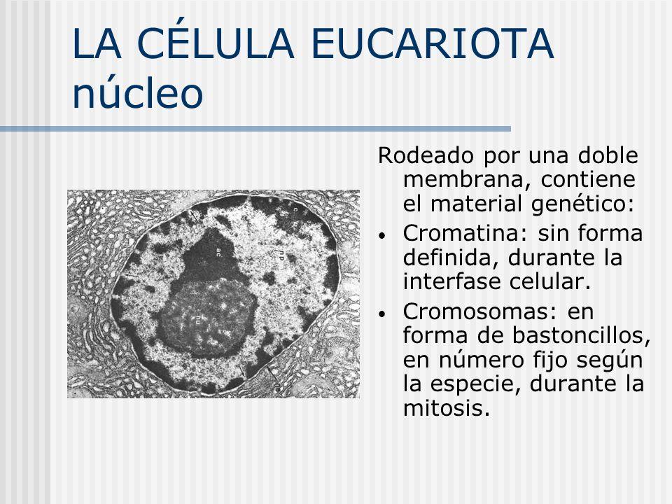 LA CÉLULA EUCARIOTA núcleo Rodeado por una doble membrana, contiene el material genético: Cromatina: sin forma definida, durante la interfase celular.