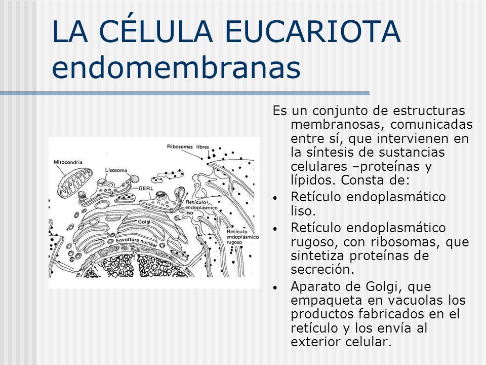 LA CÉLULA EUCARIOTA endomembranas Es un conjunto de estructuras membranosas, comunicadas entre sí, que intervienen en la síntesis de sustancias celula