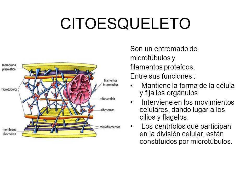 CITOESQUELETO Son un entremado de microtúbulos y filamentos proteícos. Entre sus funciones : Mantiene la forma de la célula y fija los orgánulos Inter